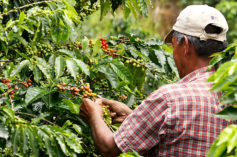 A man harvesting coffee in Colombia, in the coffee belt area.