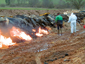 Burning cattle affected by foot-and-mouth disease.