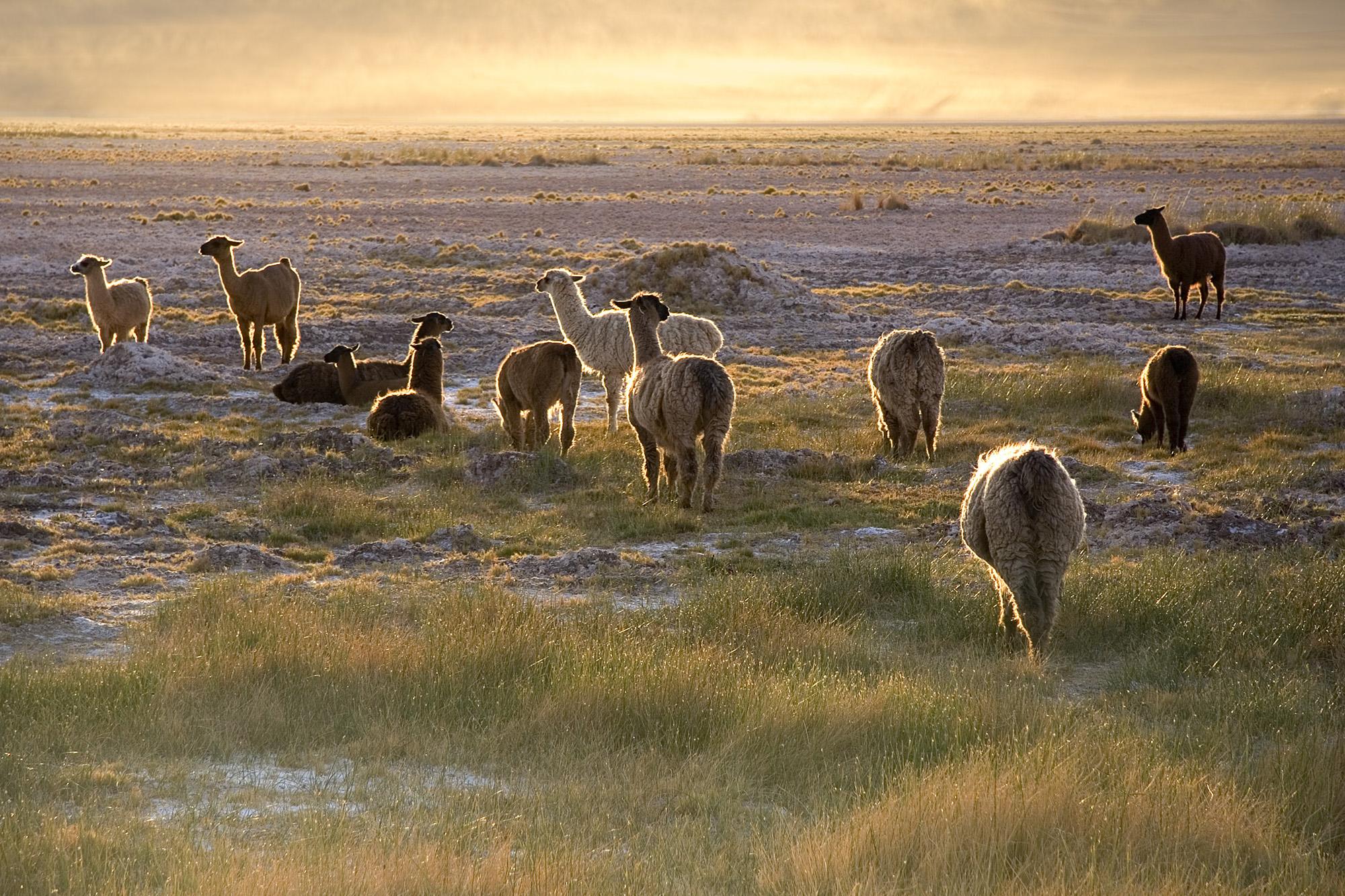 Lamas in the Atacama desert