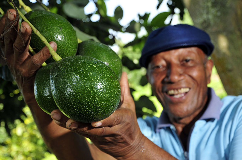 A bunch of avocados grown by a smallholder farmer near Palmira, southwestern Colombia.