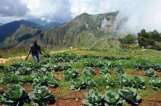 Cabbage crop in Haiti