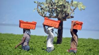 Cultivo de pimiento en la República Dominicana
