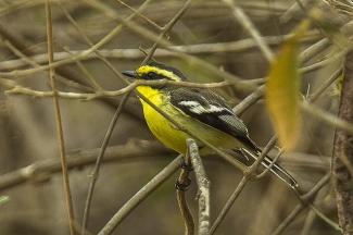 El pitajo de Tumbes es un ave autóctona del bosque seco en el noroeste de América del Sur