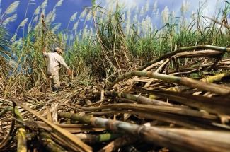 Sugar Cane crops