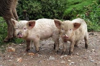 Pigs in Cachicadan, Peru