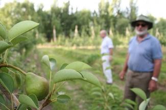 Cultivo de peras en Argentina