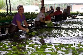 Mujeres limpiando plátanos en una planta procesadora de Ecuador