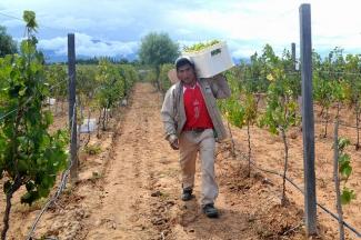 Grape harvester in Bolivia