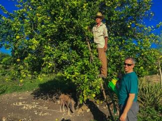Cosecha de naranja blanca en Cuba