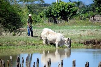 Bueyes en el agua en Cuba