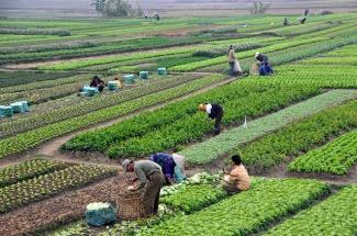 Campos en Vietnam
