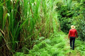 Sugar cane plantation in Brazil