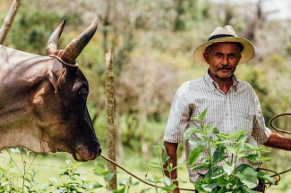 Cowboy & Bull in Santander Colombia