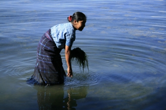 Woman collecting seaweed from a river in Guatemala