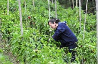 A coffee farmer intercropping with peppers at her farm in Cauca, southwestern Colombia.