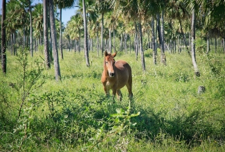 Horse in Paraguay