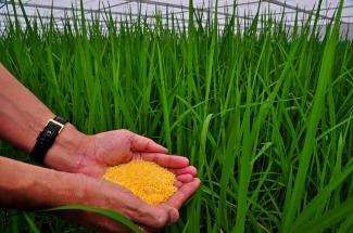 Granos de arroz dorado