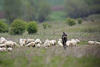 Shepherd in Sibiu, Romania