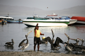 A man throwing food to the pelicans in Peru