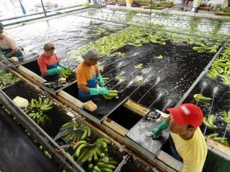 Banana processing plant in Guayaquil, Ecuador