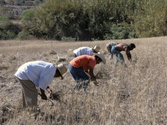 Cortadores de trigo y depósitos de maíz en México