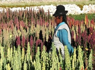 Quinoa crops in Caritamaya