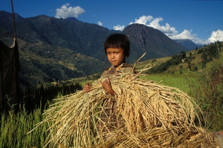 Child harvesting rice