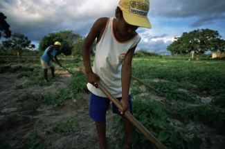Boy tending field of potatoes with his family in northeastern Brazil.