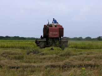 Harvesting rice in Malacatoya, Nicaragua