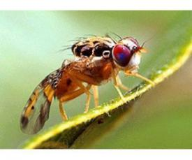 Fruit Fly, Mediterranean Fruit Fly, Argentina