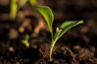 Bud sprouting from the soil