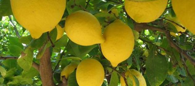 Argentina vuelve a exportar limones a EEUU