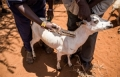 FAO urges African governments to regulate urban livestock sector