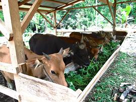 Big Goat Fao In Indonesia 联合国粮食及 农业组织