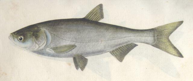 FAO: Silver carp
