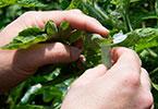 الاتفاقية الدولية لوقاية النباتات