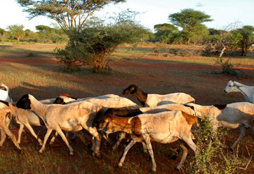 الثروة الحيوانية والبيئة