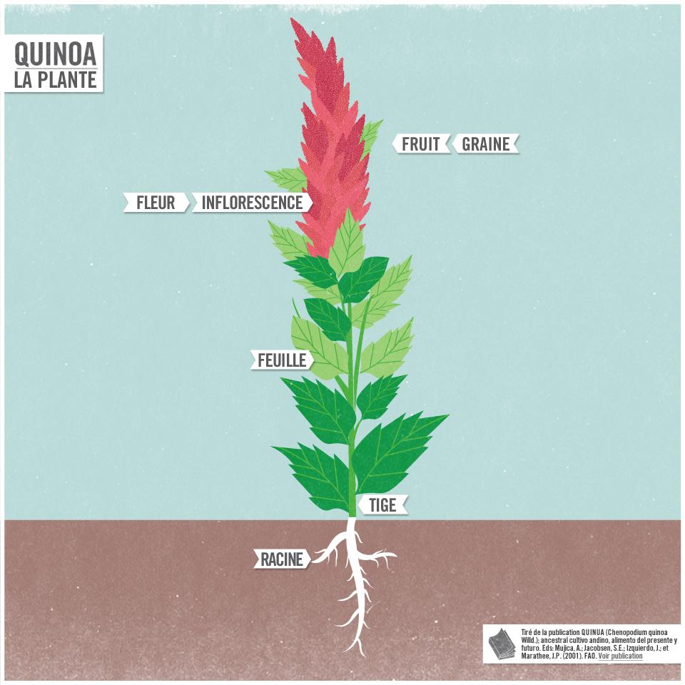 Plante ann e internationale du quinoa 2013 for Plante quinoa