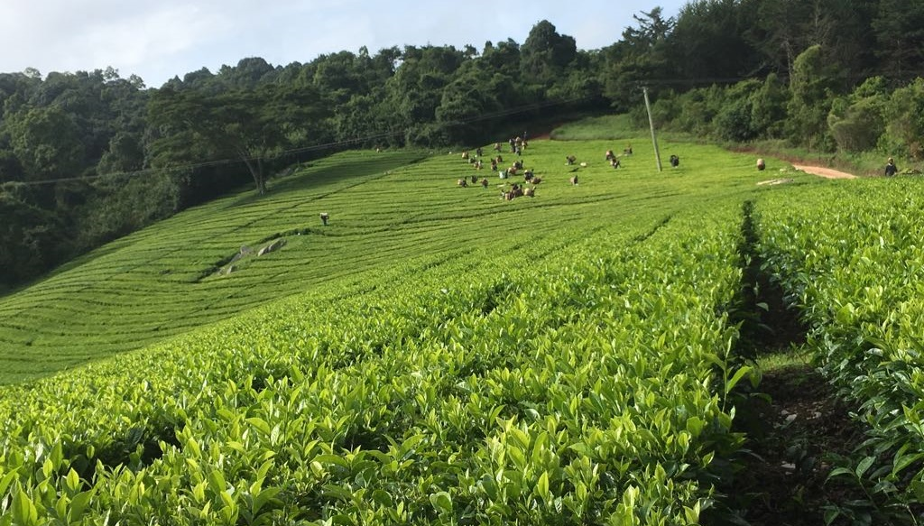 Global tea consumption and production driven by robust demand in China and India'