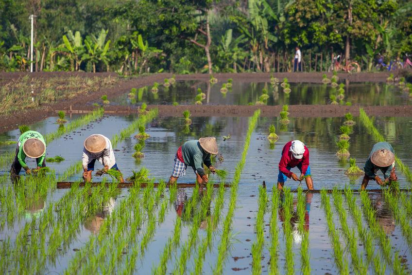 Yogyakarta-rice-planting