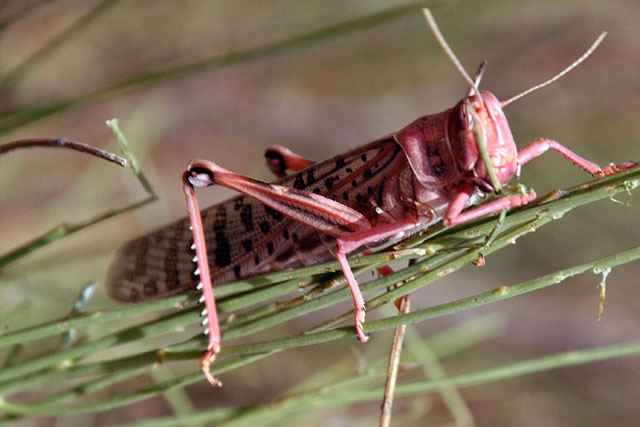 Niger, Mali on alert to Desert Locust risk