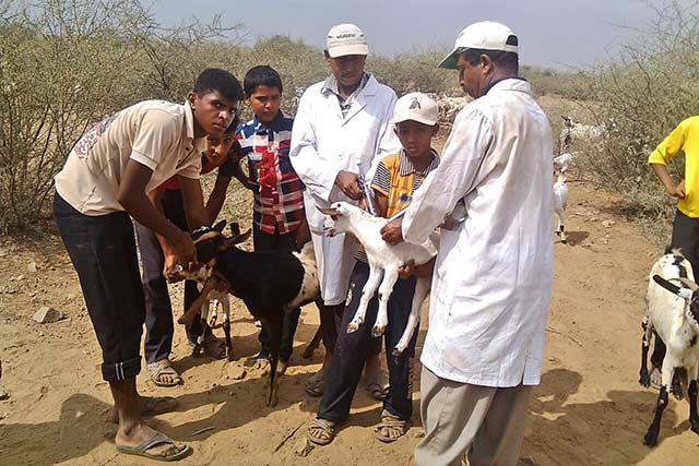 Animal vaccinations in Yemen help protect families' livelihoods