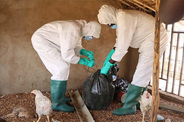 Preparing for potential avian influenza outbreaks in Mali and Senegal
