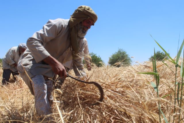FAO Syria releases Seed Security Assessment findings