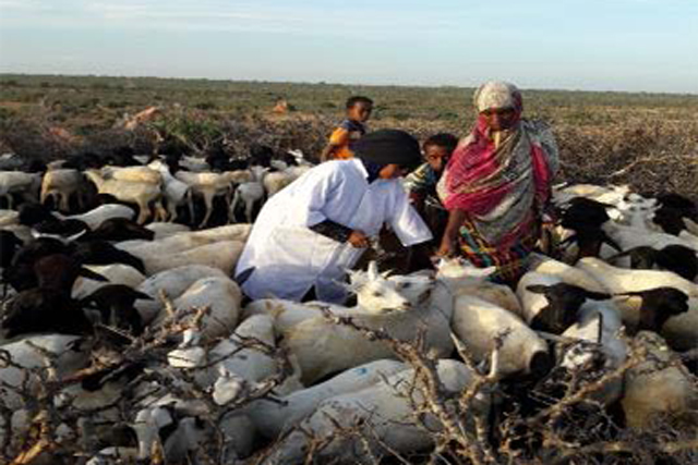 Protecting livelihoods of Puntland livestock keepers from drought-related diseases