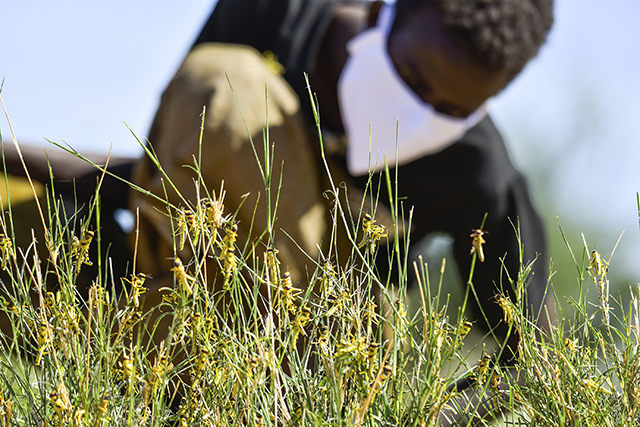 Farmers and pastoralists affected by desert locusts have suffered varying degree losses to crops and pasture. ©FAO/Michael Tewelde