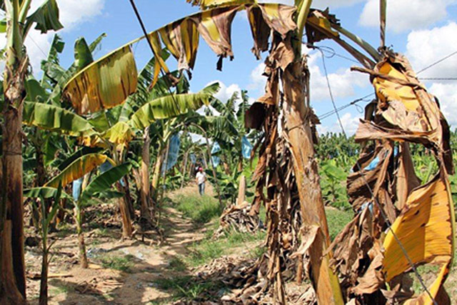 FAO urges countries to step up action against destructive banana disease