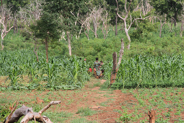 Saving the agriculture season in response to the food security emergency in CAR