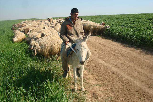 Herders in Iraq urgently need animal feed and veterinary supplies to sustain their flocks and protect them from transboundary animal diseases