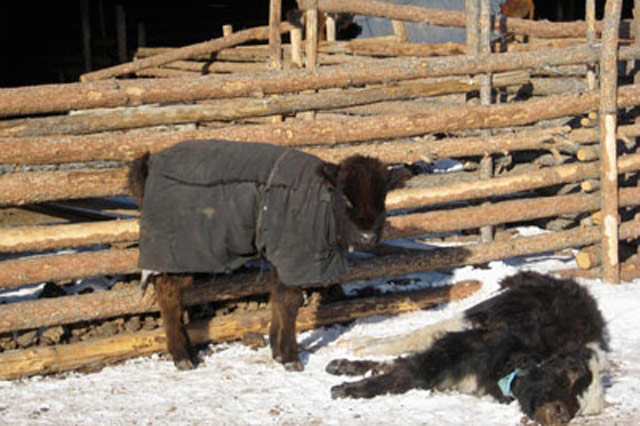 Dire winter triggers livestock disaster in Mongolia